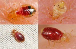 larwa pluskwy domowej